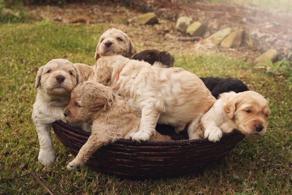 yellow labradoodle puppies