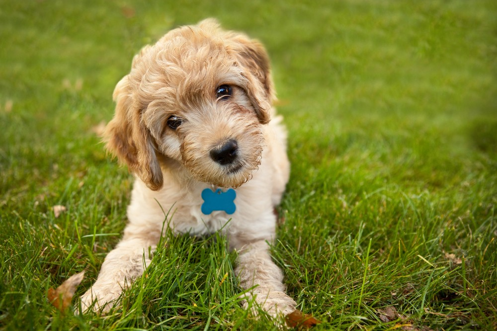 yellow labradoodle puppy in grass