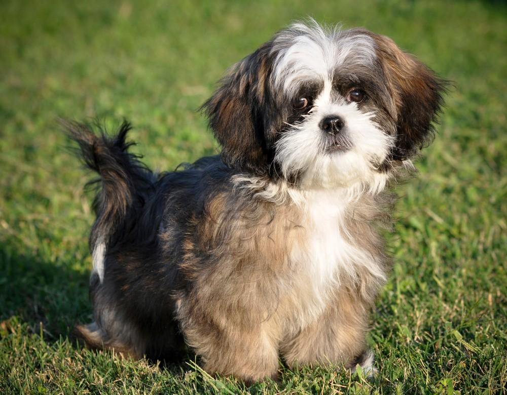 young shih tzu dog in grass