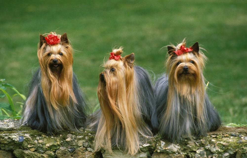 three long haired yorkies