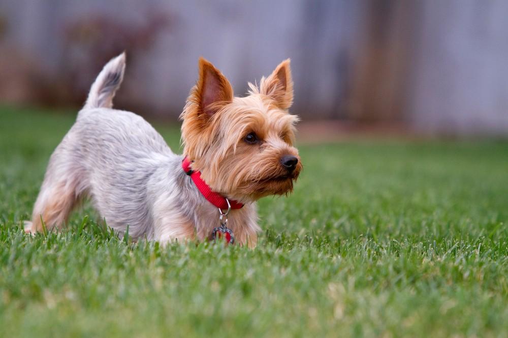 yorkie dog in grass