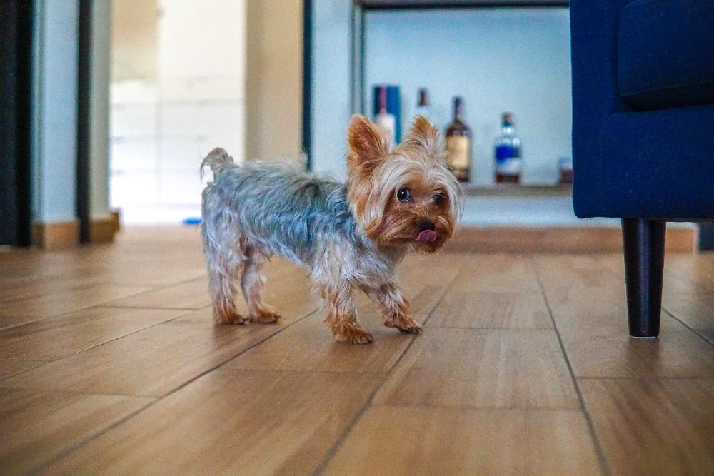 yorkie puppy on hard floor
