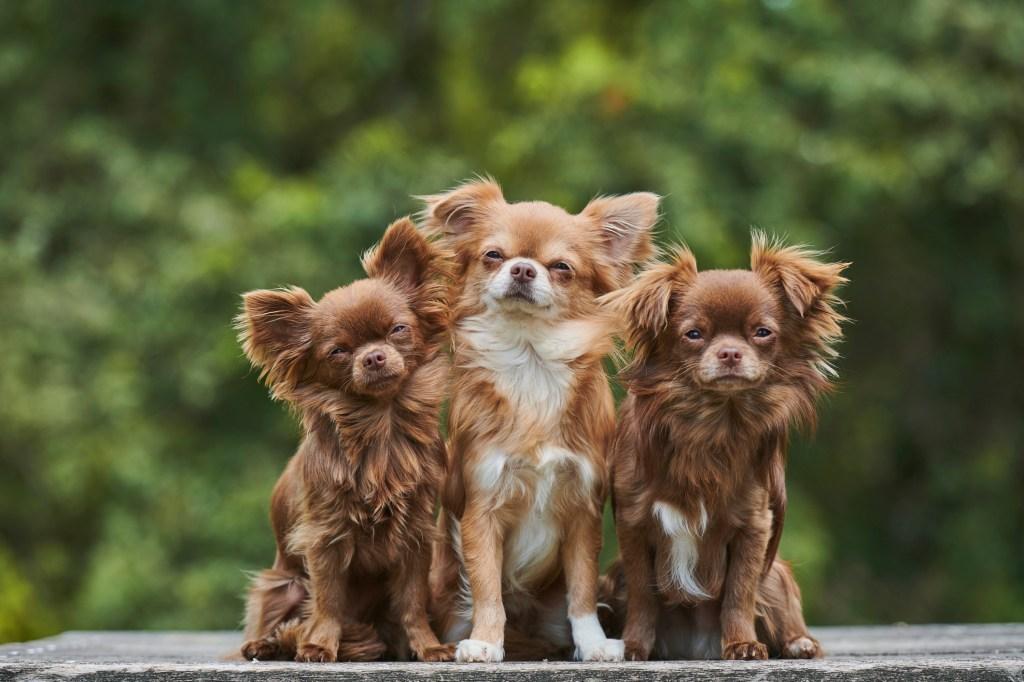 three long-haired chihuahuas