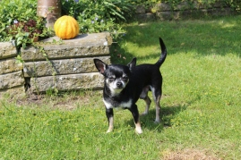 black chihuahua dog outside in grass