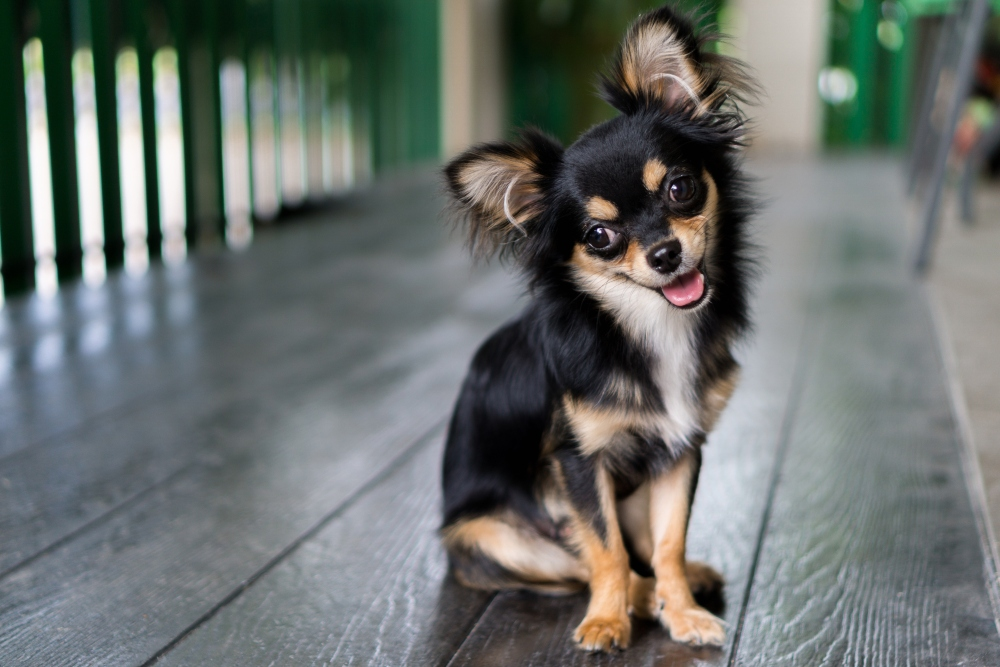 black long haired chihuahua dog