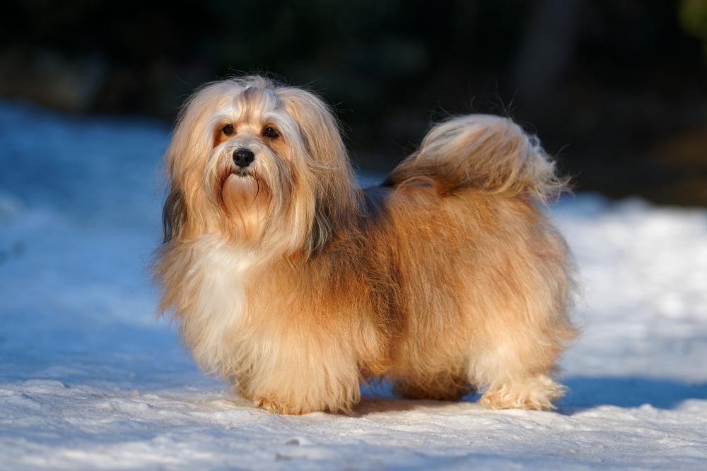 fluffy havanese dog in snow