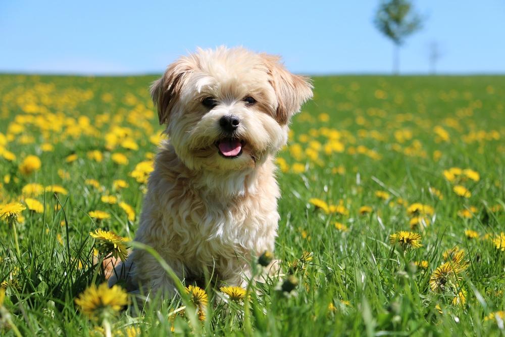 havanese dog in grassy field