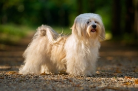 long haired havanese dog