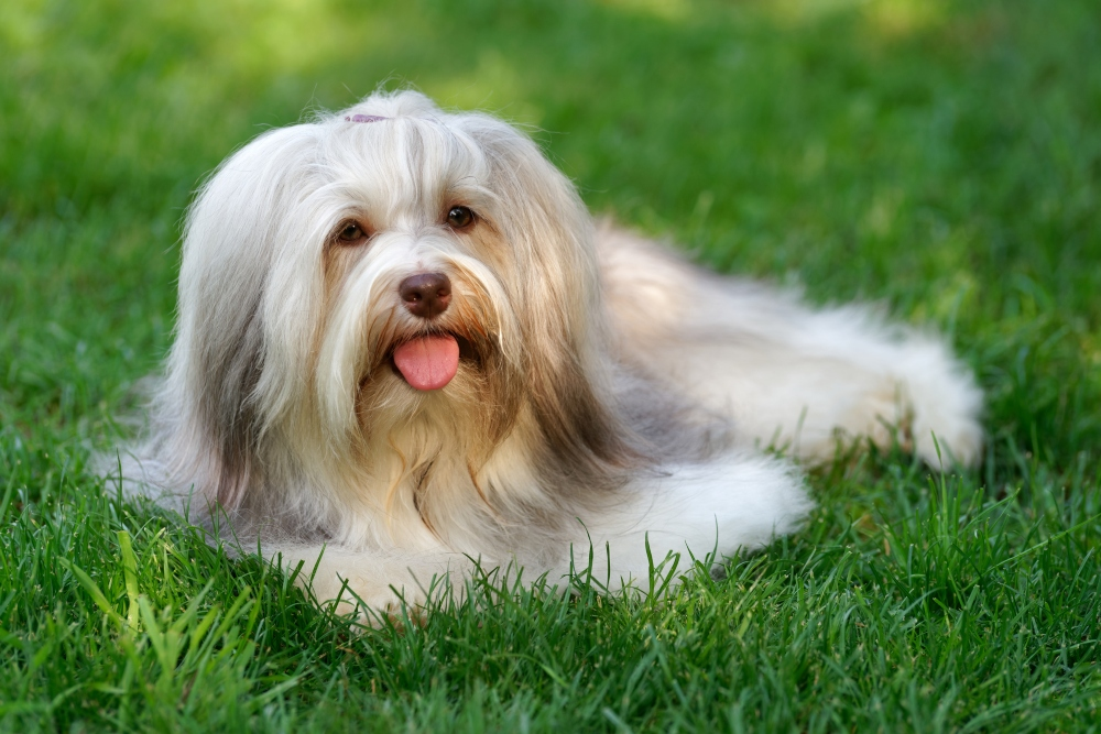 long haired havanese in grass