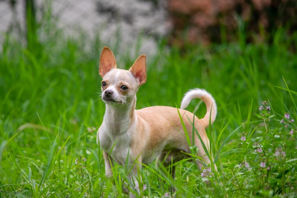 tan chihuahua dog in grass