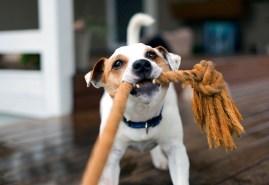 dog playing tug of war