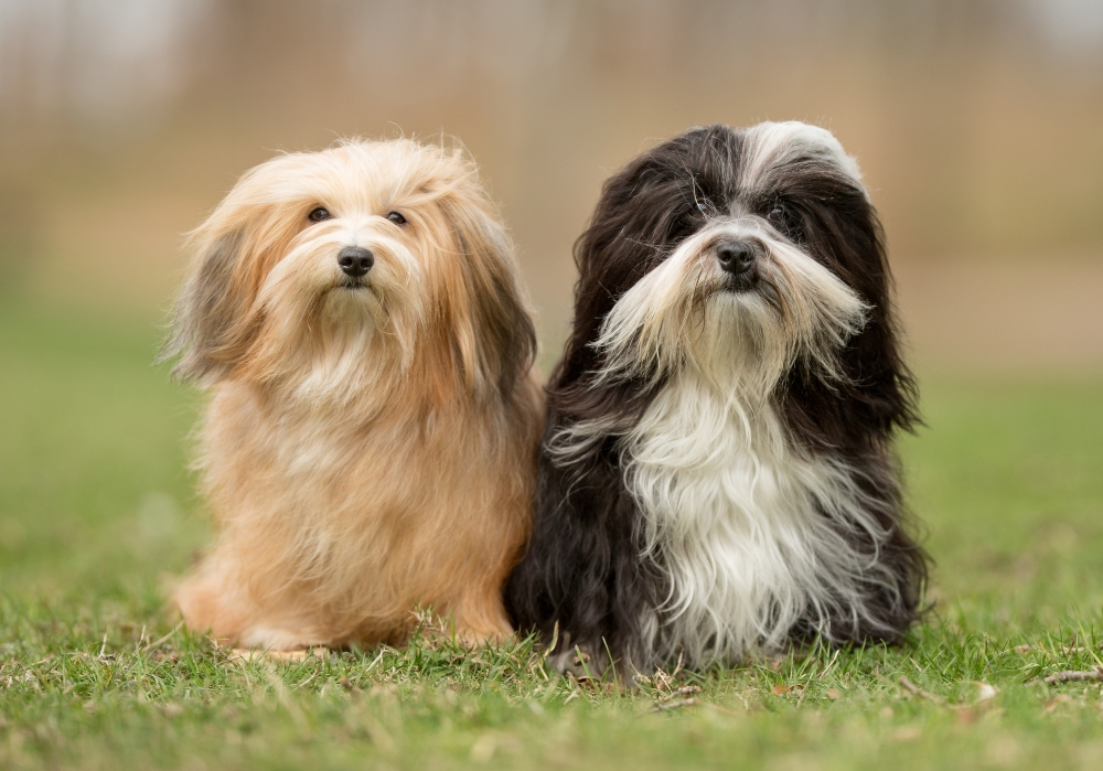 two havanese dogs sitting