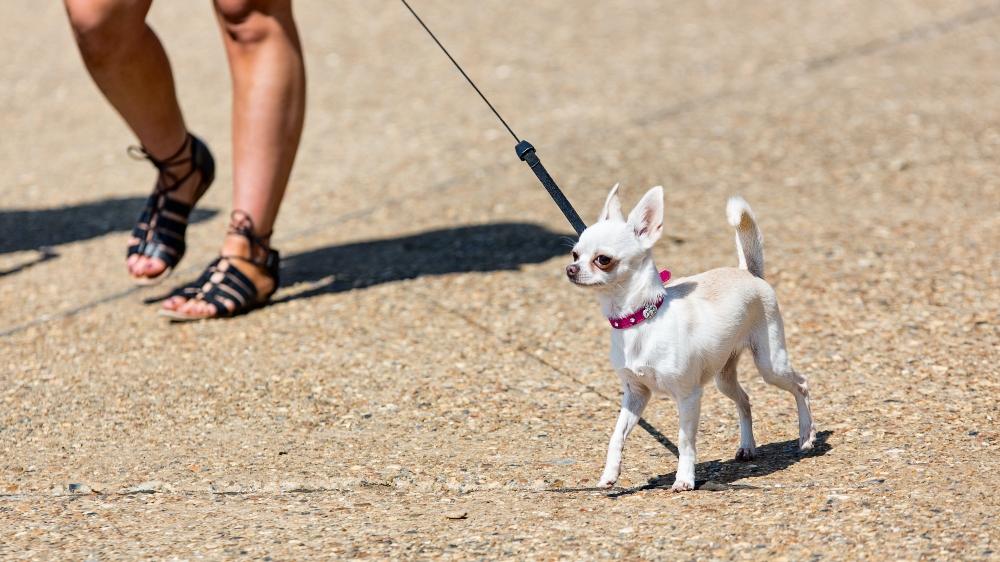 white chihuahua on a walk