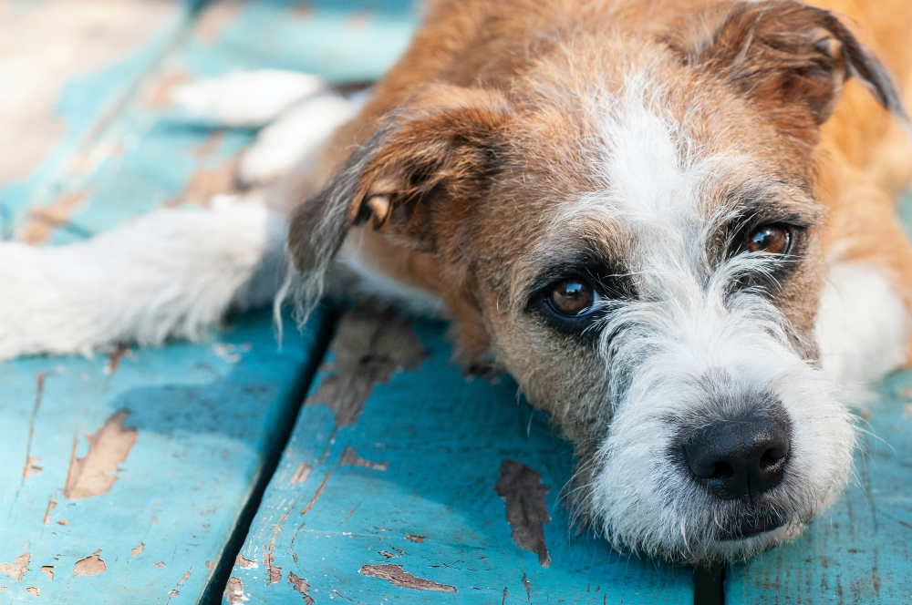 brown and white scruffy terrier dog