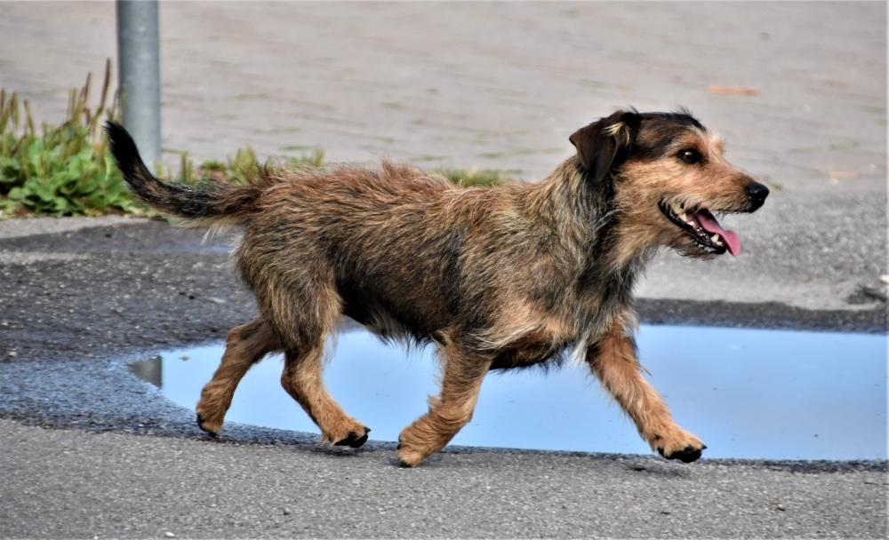 brown scruffy terrier dog