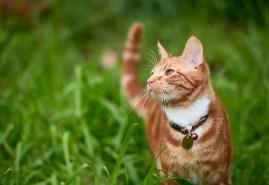 cat in grass wearing collar
