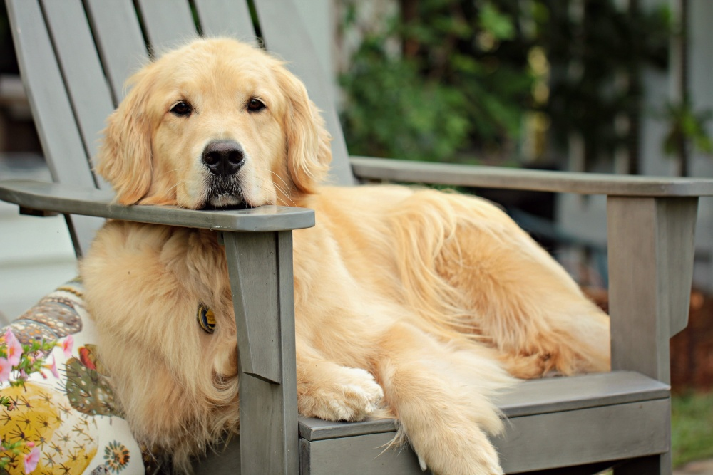 golden retriever dog on chair