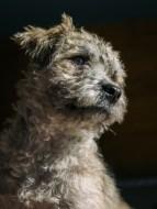 scruffy gray terrier mix dog