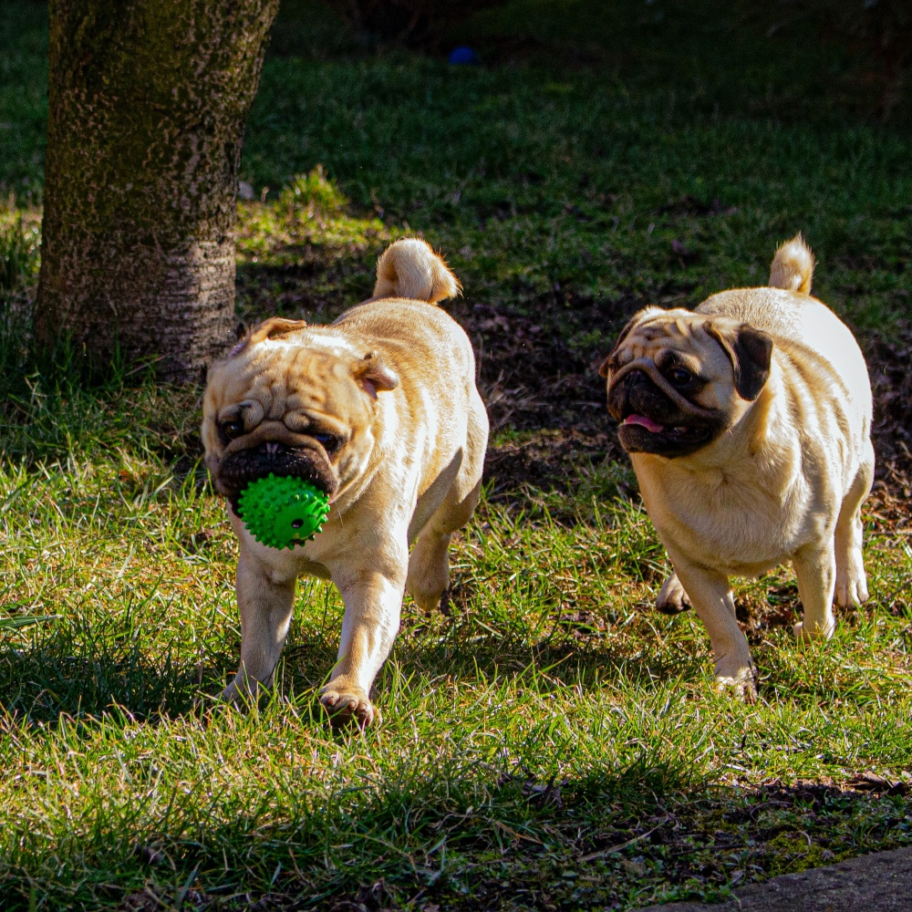 two pug dogs playing outside