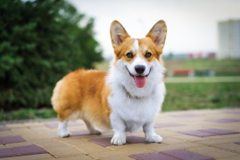 tan and white corgi dog