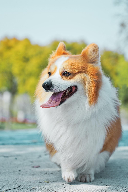 corgi dog outside