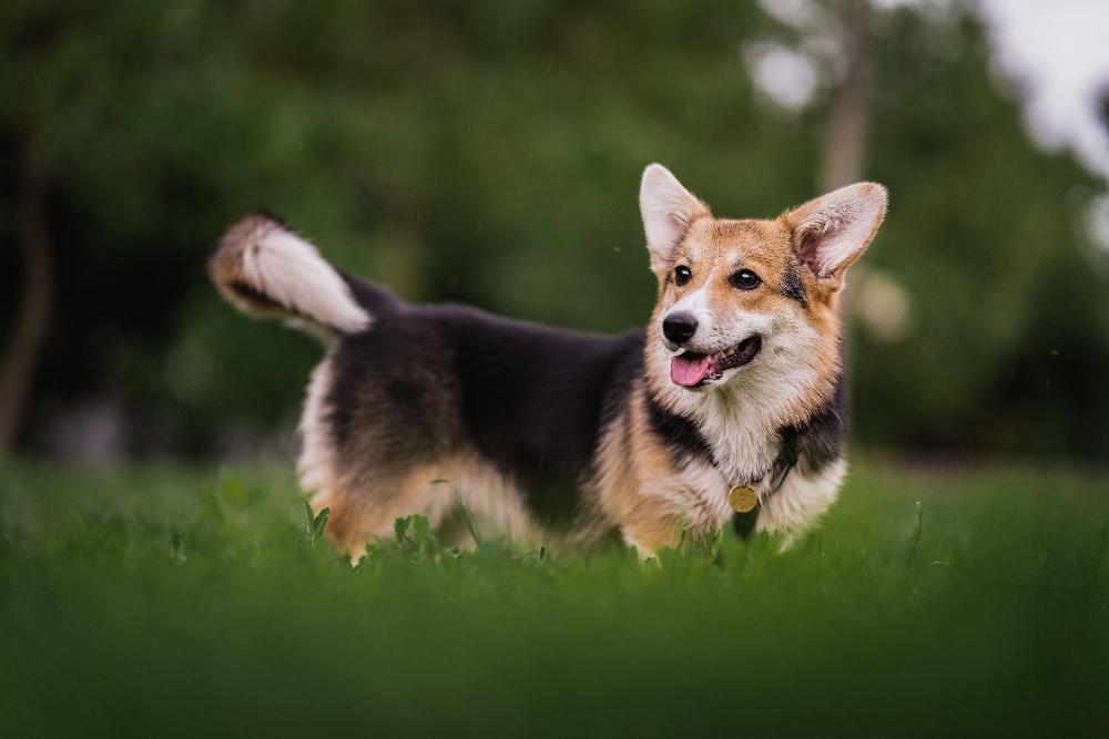 corgi dog standing in grass