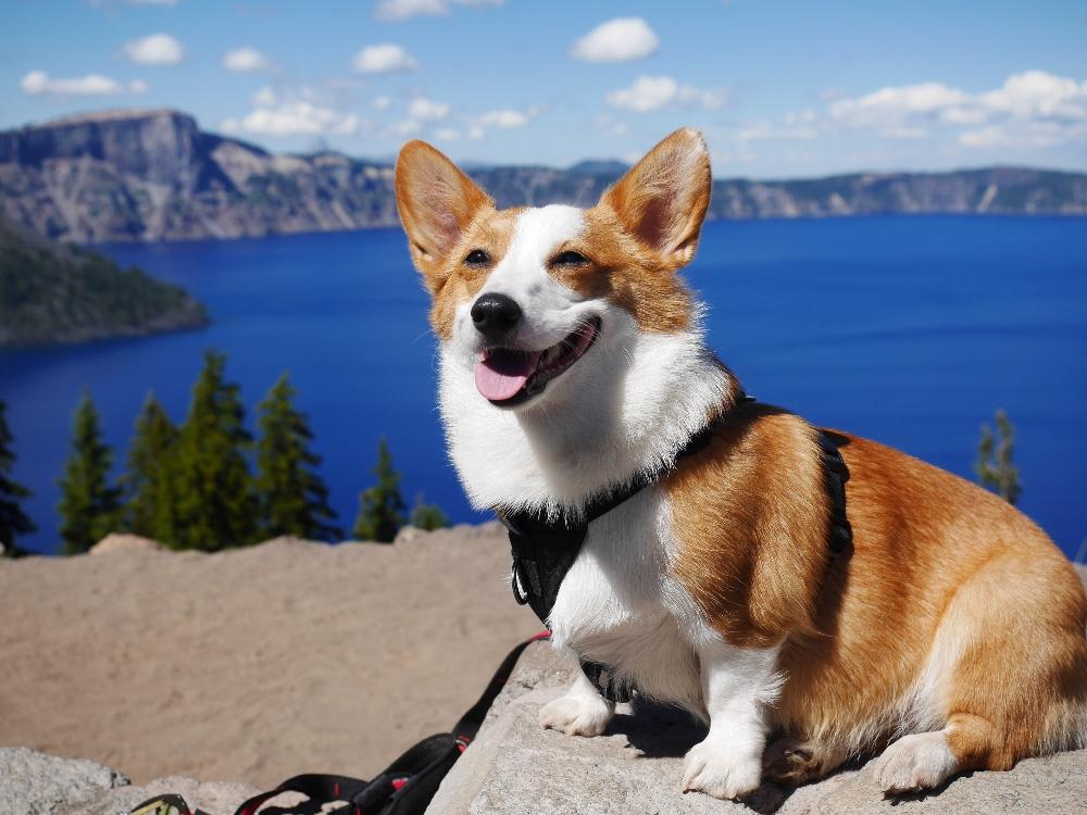 corgi sitting on mountain top