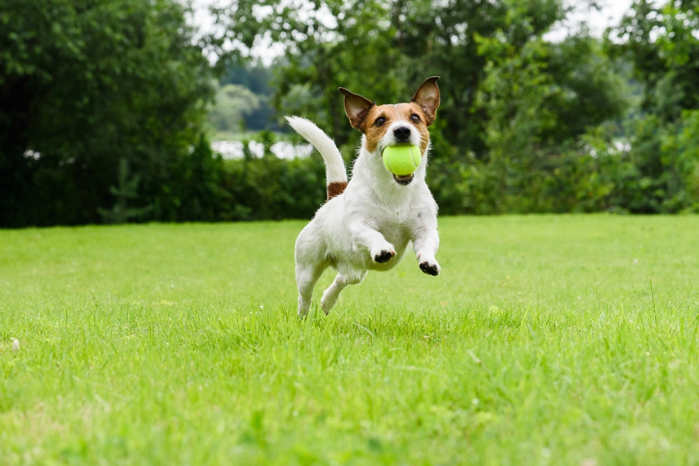 Jack Russell Terrier playing witn green ball
