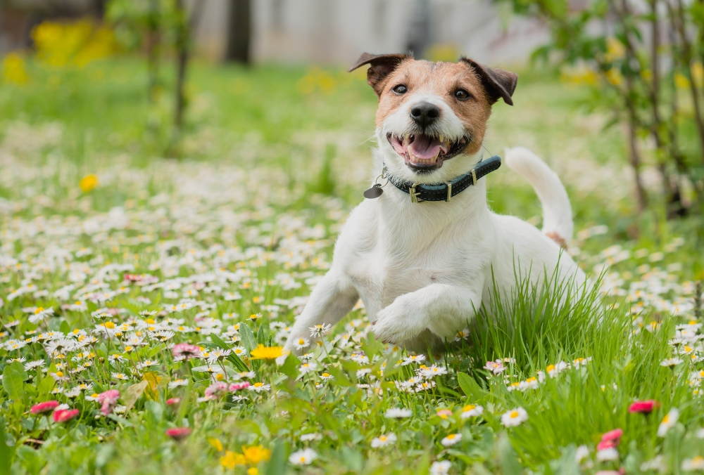 Jack russell dog in meadow