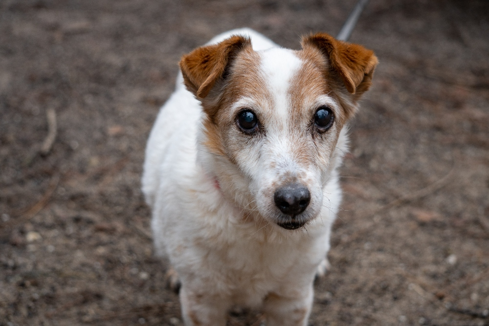 wire haired jack russell dog