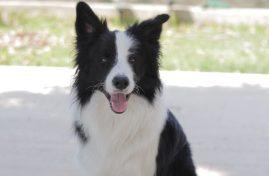 border collie dog sitting