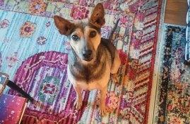 Juniper, dog and cancer survivor