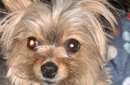 Minnie, a Yorkie-Pomeranian