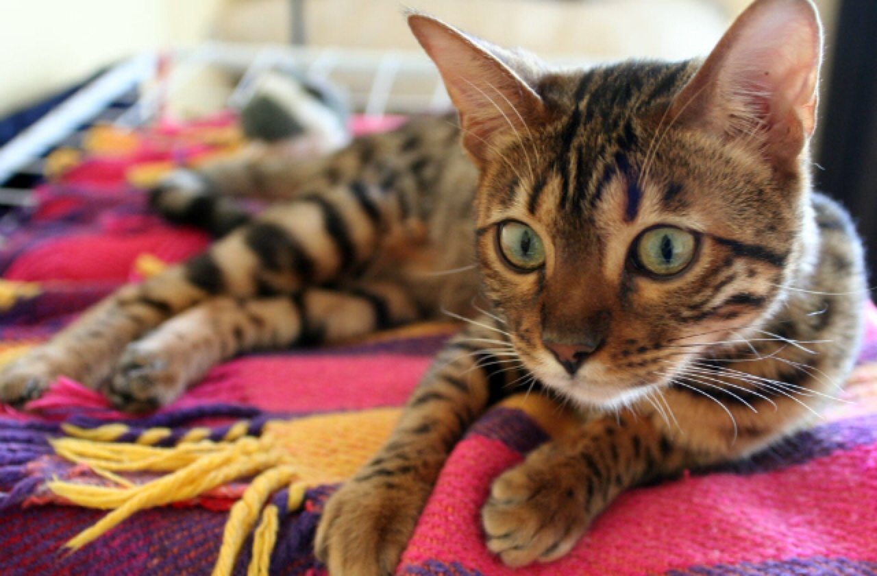The Bengal Cat Has Not-So-Distant Wild Relatives | Healthy ...