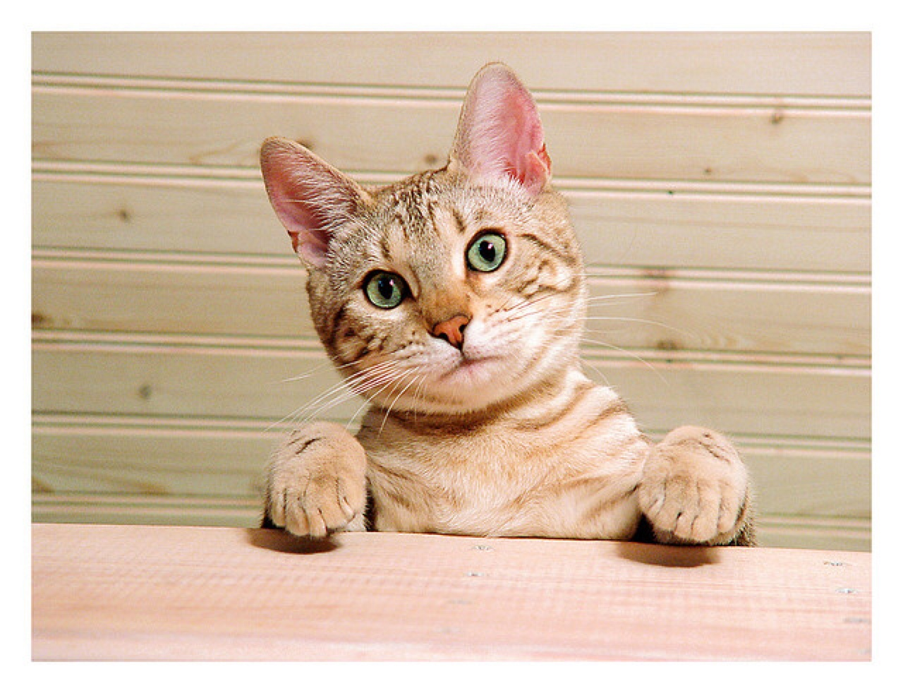 Strains Sprains And Pulled Muscles In Kittens Healthy Paws