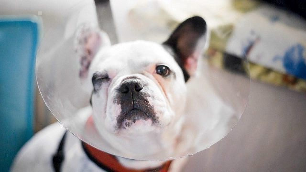 Common French Bulldog Health Problems Healthy Paws