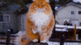 Healthy Paws Norwegian Forest Cat
