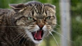 angry hissing cat