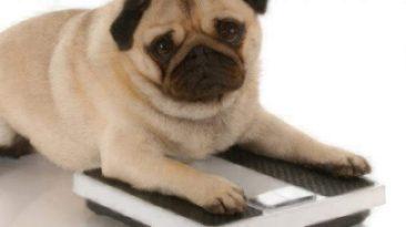 overweight pet