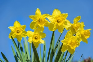 daffodil poisoning cats dogs