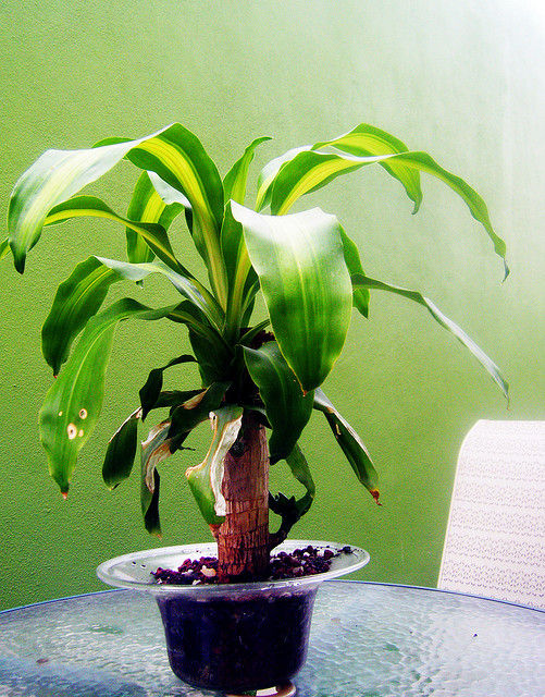 Dracaena poisonous to cats dogs