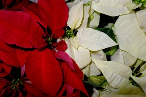 poinsettia poisoning in dogs