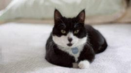 healthy paws tuxedo cat